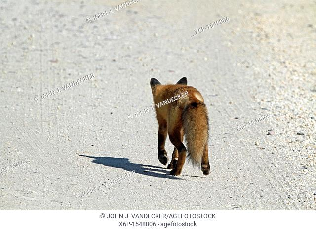 A Red Fox, Vulpes vulpes, walking away on a sandy gravel road  Edwin B  Forsythe National Wildlife Refuge, Oceanville, New Jersey, USA