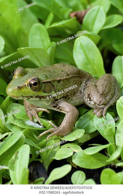 A Green Frog crouched in the foliage beside a small pond