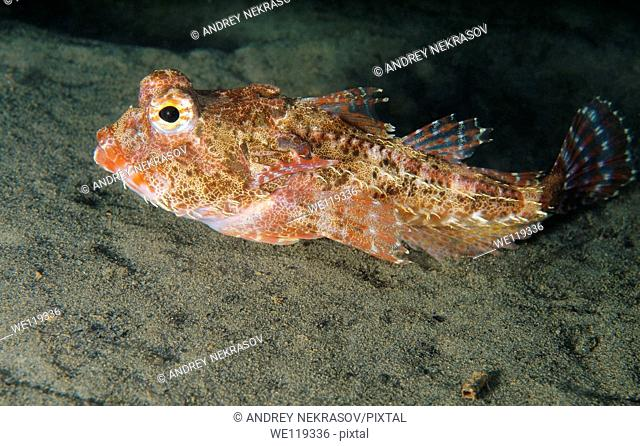 antlered sculpin enophrys dieeraus Japan sea, Far East, Primorsky Krai, Russian Federation