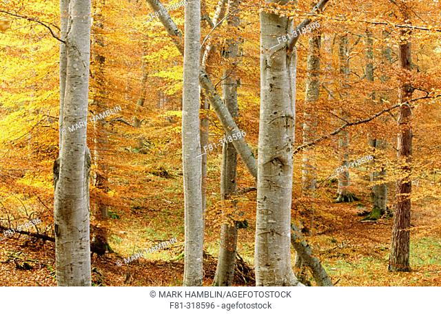 Common beech (Fagus sylvatica). Woodland in autumn. Strasthspey. Scotland. UK