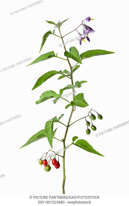 Bittersweet plant with flowers and berries on white background