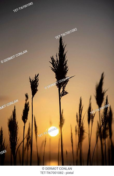 Silhouettes of grass at sunset