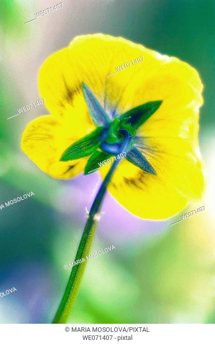 Yellow Pansy. Viola x wittrockiana. May 2007, Maryland, USA