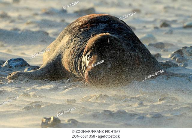 Gray Seal Helgoland Germany