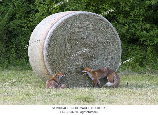 Red foxes (Vulpes vulpes), Summer, Hesse, Germany, Europe