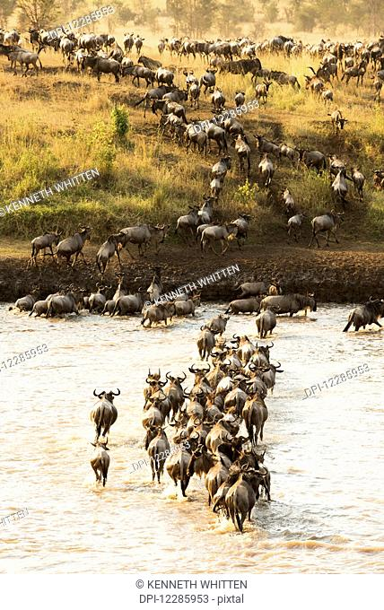 Large group of Wildebeest (Connochaetes taurinus) surges across the flooded Mara River in Serengeti National Park; Tanzania