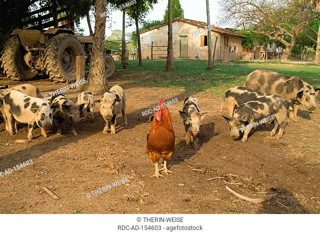 Domestic Fowl and Domestic Pigs Pantanal Mato Grosso Brazil rooster cock
