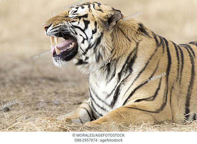South Africa, Private reserve, Asian (Bengal) Tiger (Panthera tigris tigris), resting, Flehmen, turns the upper lip to catch the odors with the Jacobson's...