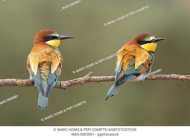 European Bee Eaters pair posed on a trunk in Garrotxa, catalonia, Spain