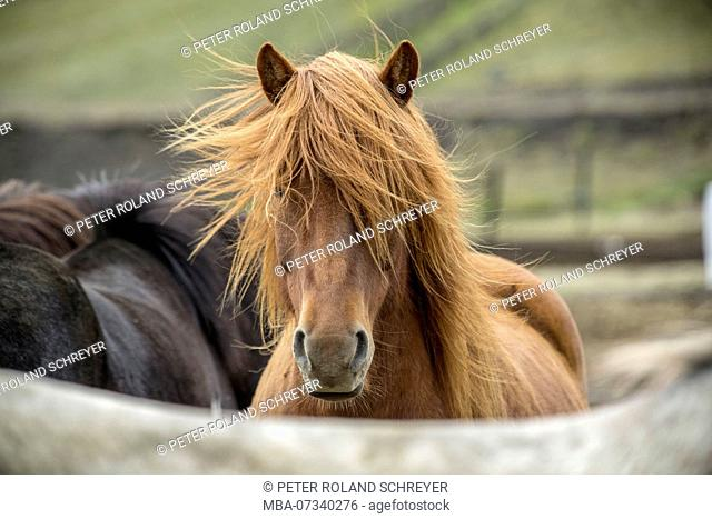 Iceland, brown Icelandic horse, from the front, mane blowing in the wind