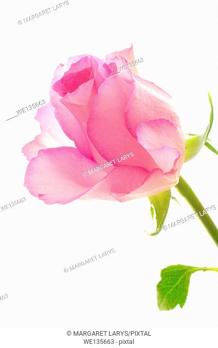 Pink roses on white pretty background