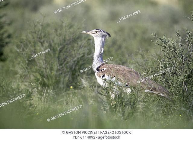 Kori Bustard (Ardeotis kori). Kalahari Desert, Kgalagadi Transfrontier Park, South Africa
