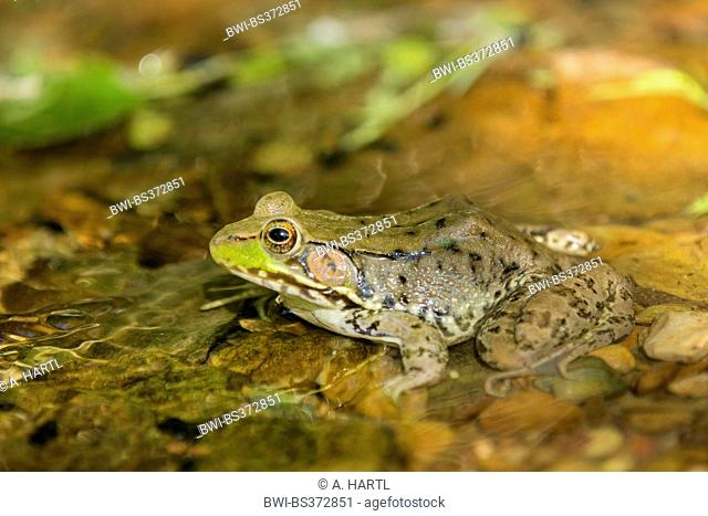 Green frog, Common spring frog (Rana clamitans, Lithobates clamitans), sits at brookside, USA, Tennessee, Great Smoky Mountains National Park