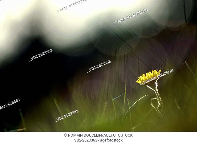 Dandelion against day in Rhone-Alpes region