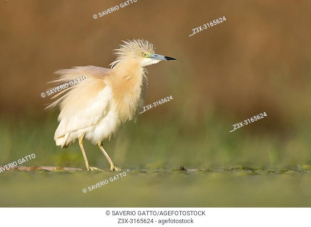Squacco Heron (Ardeola ralloides), adult perched on a floating cane