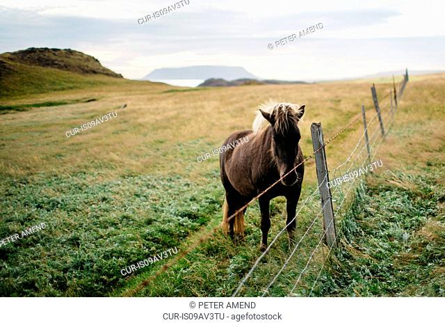 Horse behind fence in field landscape, looking at camera, Iceland
