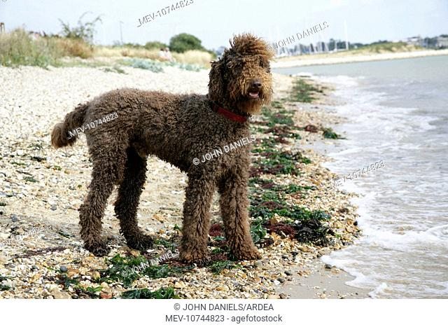 Brown labradoodle standing on beach