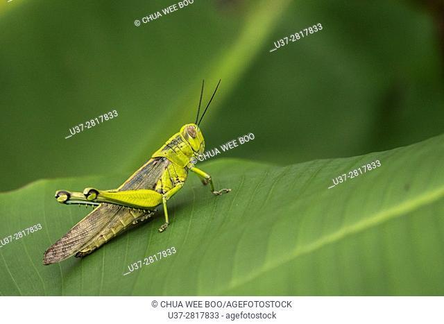 Grasshopper. Image taken at Kampung Skudup, Sarawak, Malaysia