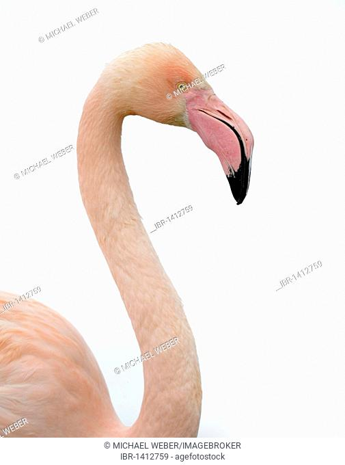 Greater Flamingo (Phoenicopterus ruber roseus) in snow