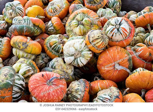 Organic squash variety for sale at Detering Organic Farm near Eugene Oregon during the Fall