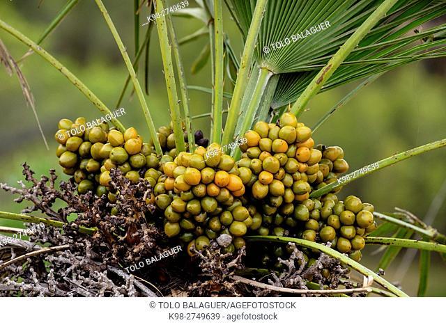 Palmito, Chamaerops humilis, parque natural de la serra de Llevant, Arta, Majorca, Balearic Islands, Spain