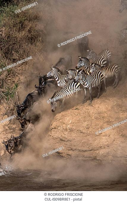Wildebeest and zebra on yearly migration launching across Mara River, Southern Kenya