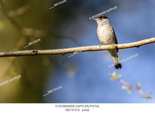 germany, saarland, bexbach, A blackcap is sitting on a branch