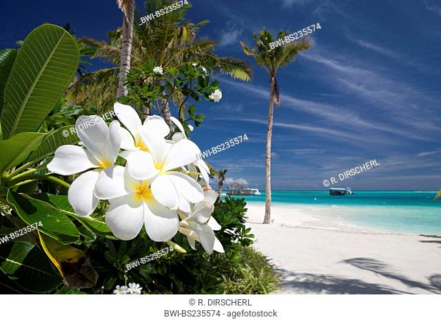 frangipani plant, nosegaytree (Plumeria alba), blooming at the beach of Maldive Island Kandooma, Maldives, South Male Atoll