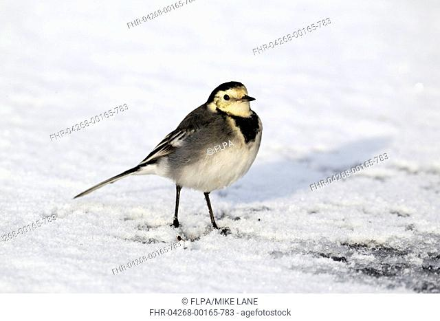 Pied Wagtail Motacilla alba yarrellii adult female, standing on snow covered ice, Midlands, England, december