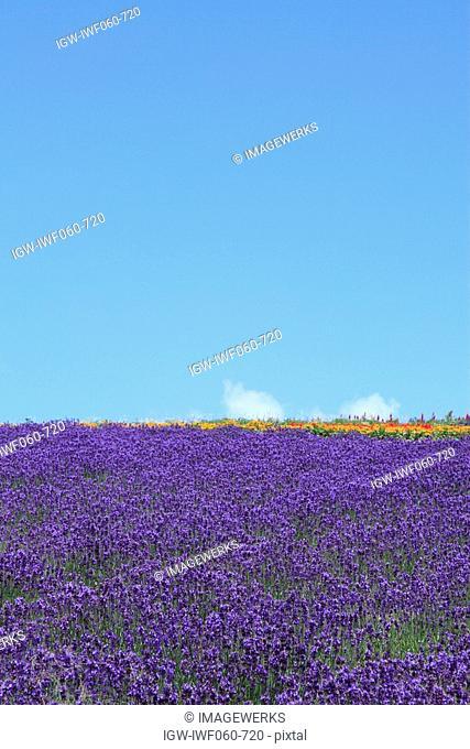 Lavender field against blue sky