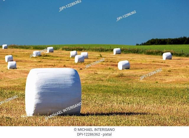 Large round hay bales covered in white plastic in a cut field with blue sky; Alberta, Canada