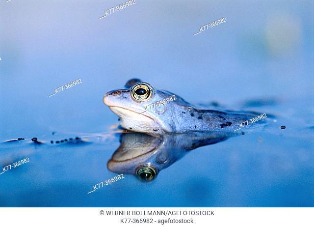 Moor frog (Rana arvalis) male in mating season. Lower Saxony. Germany