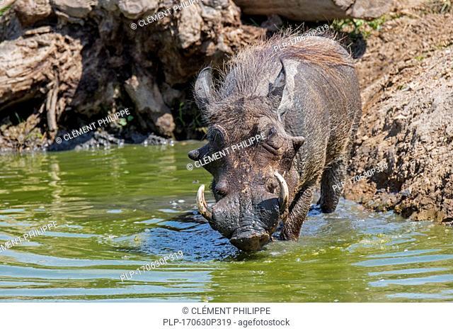 Common warthog (Phacochoerus africanus) with large tusks taking mud bath in pond