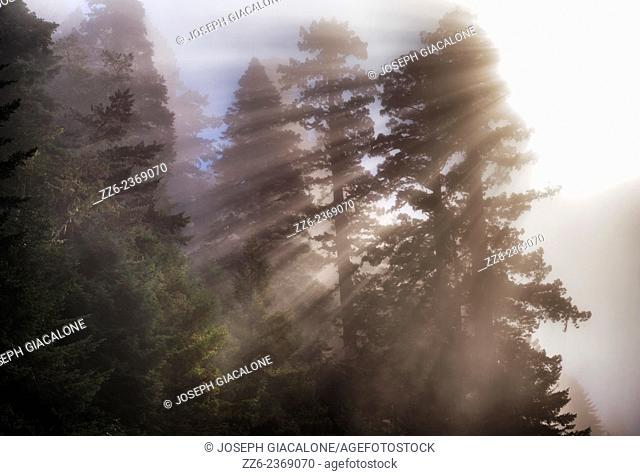The Sun streaming through fog and redwood pine trees. Redwood National & State Parks, CA, USA