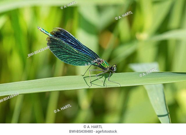 bluewing, demoiselle agrion (Calopteryx virgo), female on a leaf, Germany, Bavaria