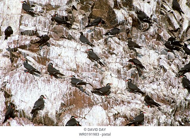 Group of inca terns on the cliff of Ballesteros Islands Larosterna inca Ballestero Islands, Chile