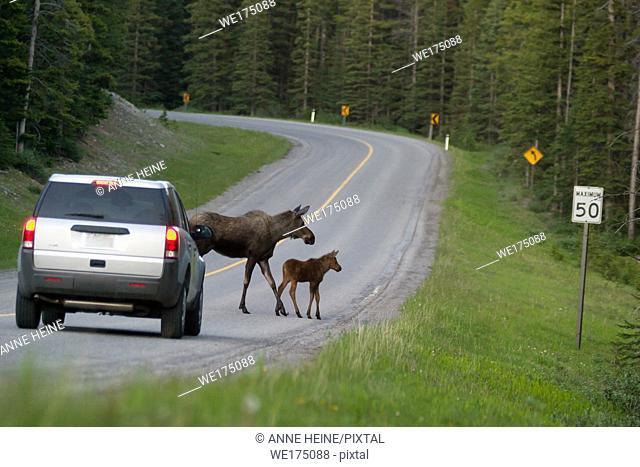 Moose mother and calf crossing road just in front of a car. Kananaskis Country near Kananaskis Lake, Alberta, Canada