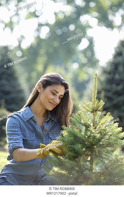 A woman pruning an organically grown Christmas tree