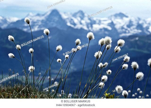 Niederhorn, Beatenberg, Switzerland, canton Bern, Alps, Bernese Oberland, mountain scenery, mountain scope, Eiger, alpine flora, sedges, Cyperaceae