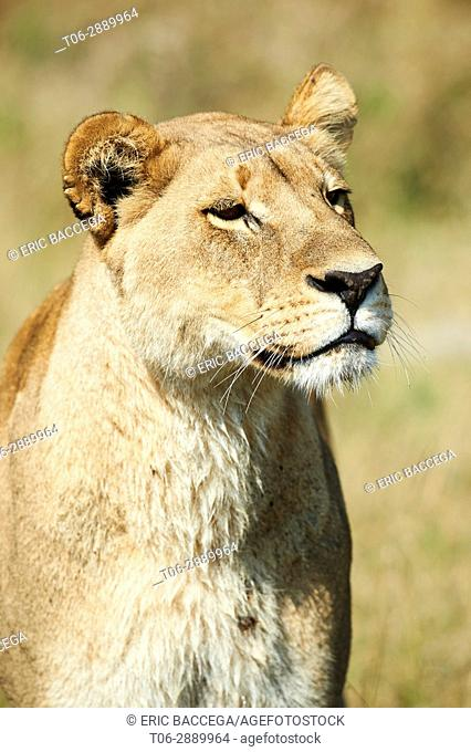 Portrait of African lioness (Panthera leo) Duba Plains concession, Okavango Delta, Botswana