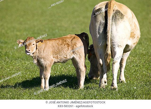 Cow and calf. Irati, Navarra, Spain