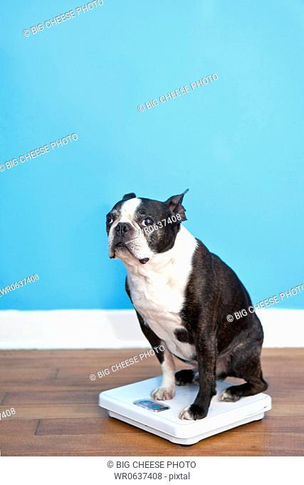 Dog sitting on scales