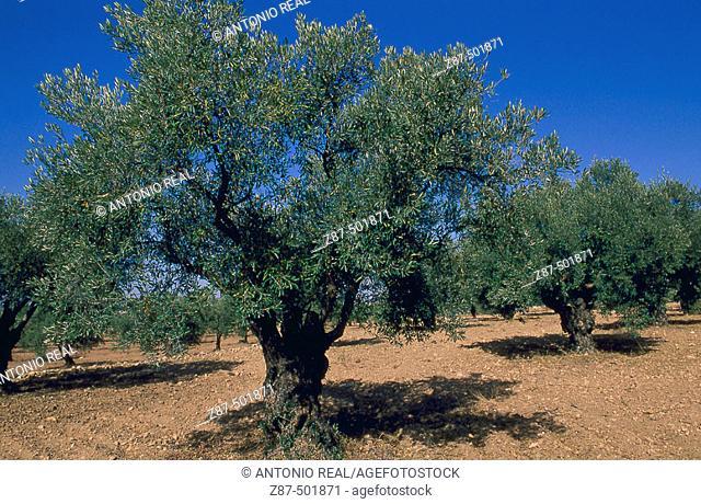 Olive trees. Almansa, Albacete province, Castilla-La Mancha, Spain