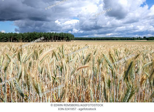 Looking over the top of a wheat (Triticum aestivum) field with cloudy skies above, Bialystok, Poland wheat