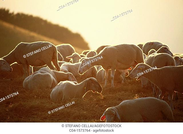 Sheep, Castelluccio di Norcia, Umbria, Italy