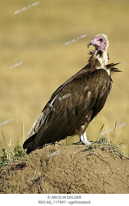 Hooded Vulture Masai Mara game reserve Kenya Necrosyrtes monachus