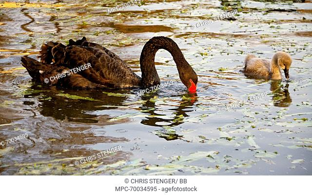 Black Swan (Cygnus atratus) female with chick foraging in the water, Wuhan, China