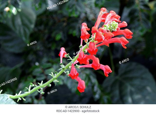 Reichblaettrige Begonie, Begonia foliosa, Vorkommen Suedamerika