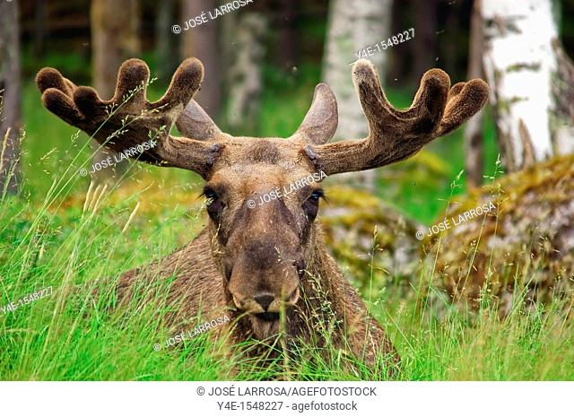 Alces alces, Sweden
