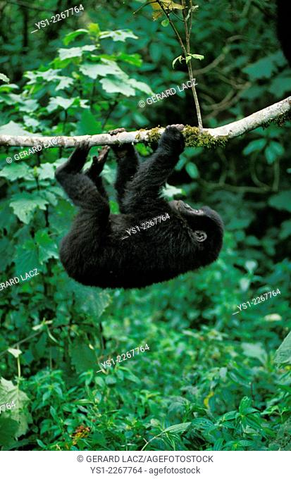 Mountain Gorilla, gorilla gorilla beringei, Young playing with Branch, Virunga Park in Rwanda